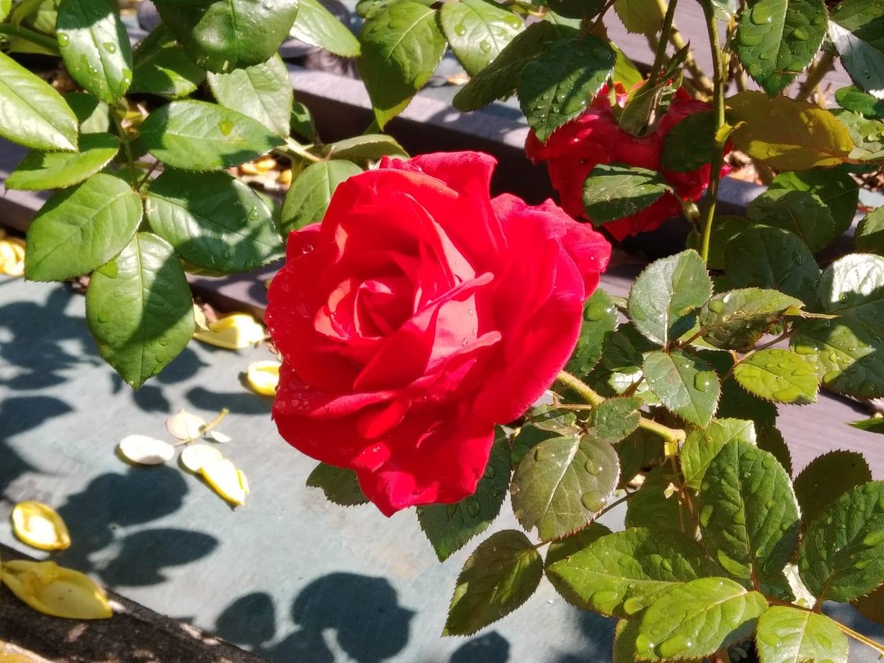 荒川公園の秋バラ