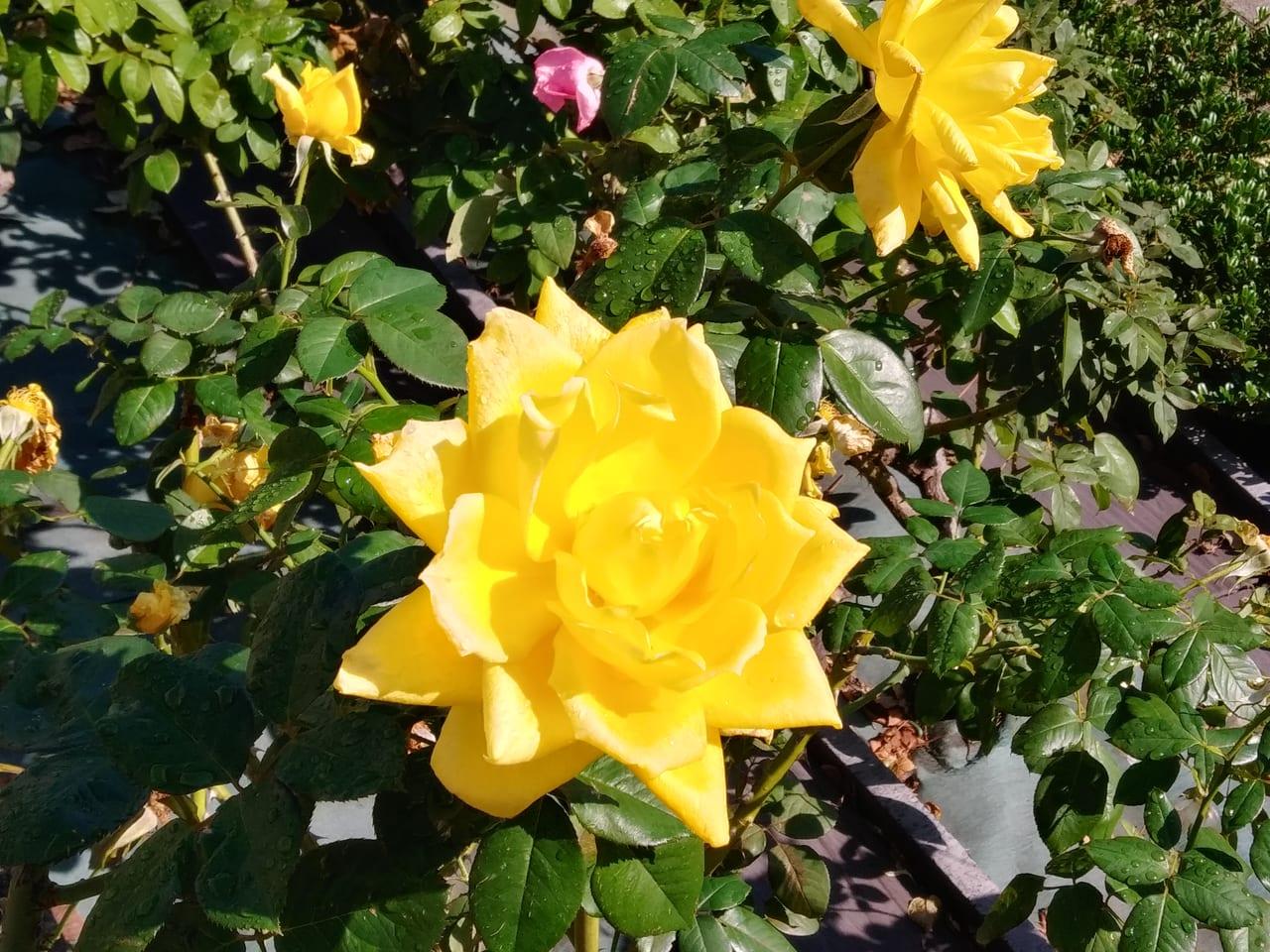 荒川公園のバラ