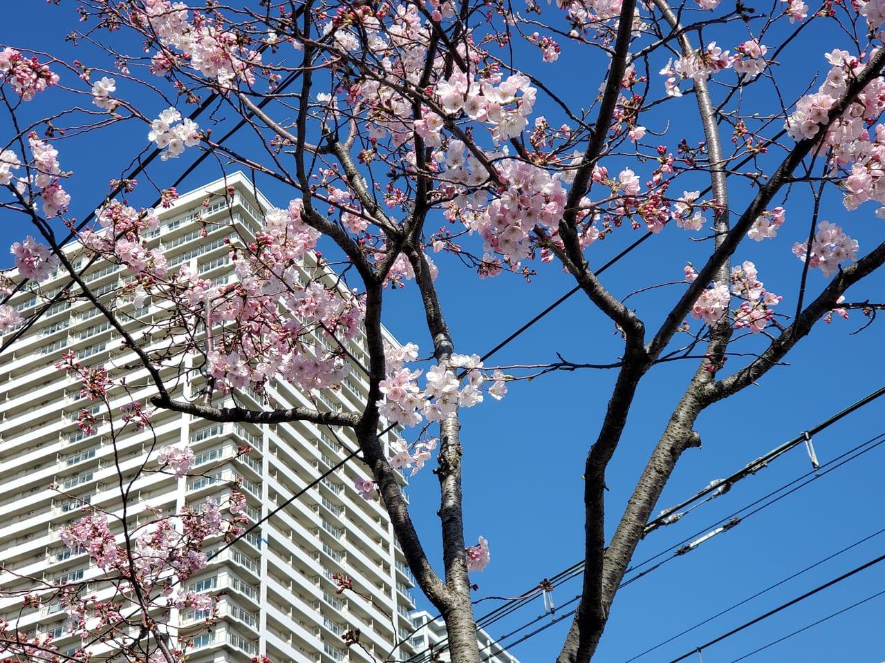 汐入地区の桜